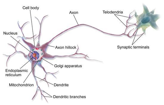 神经元结构图片来源:维基百科